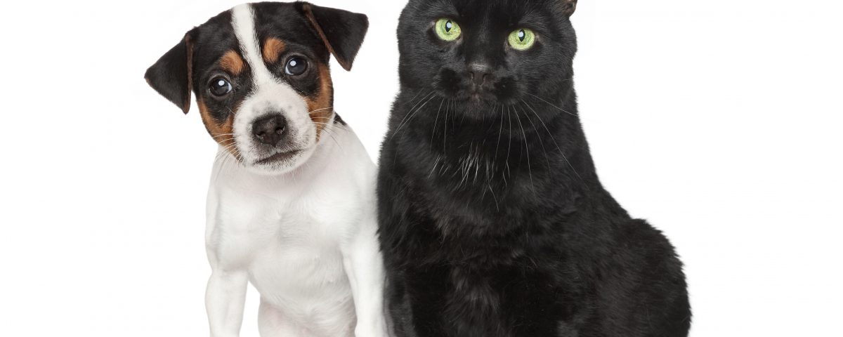 Close-up portrait of a Jack Russel Dog and black cat on white background