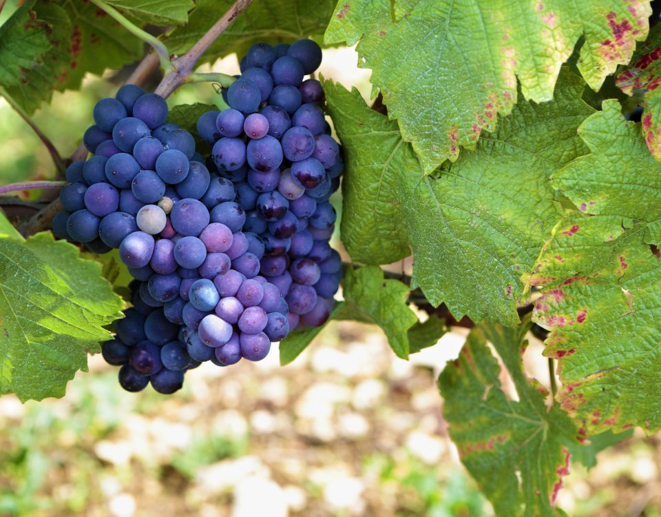 Red pinot noir red wine grapes Burgundy vineyard France.